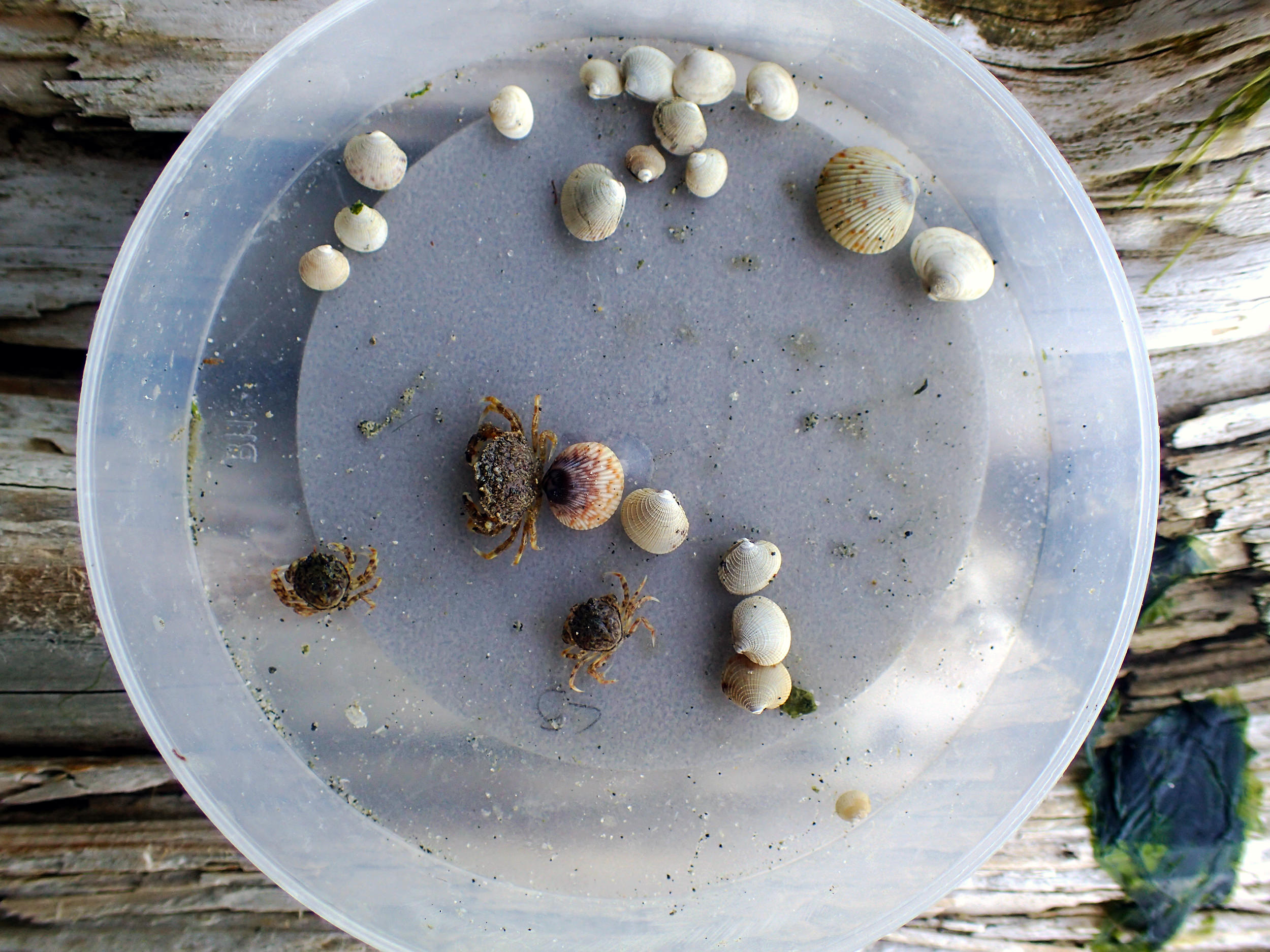 A sample of juvenile clams and Dungeness crab temporally collected from the Fulford Harbor clam garden site. Photo: Courtney Greiner