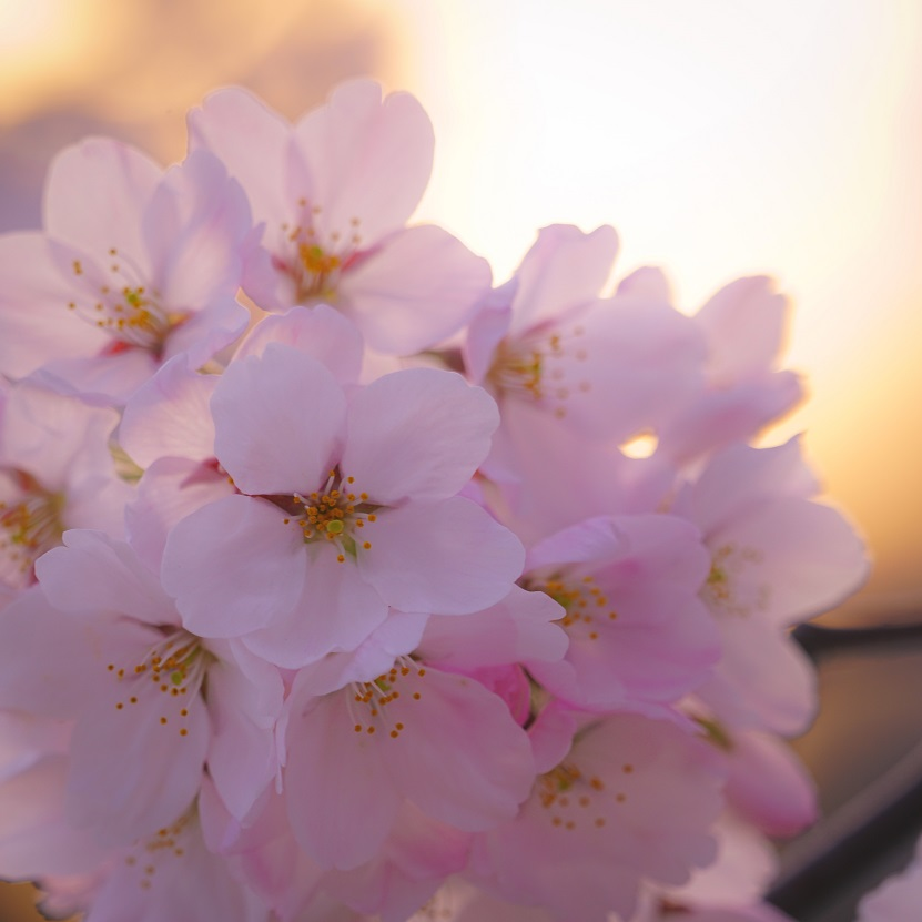 japan-spring-cherry
