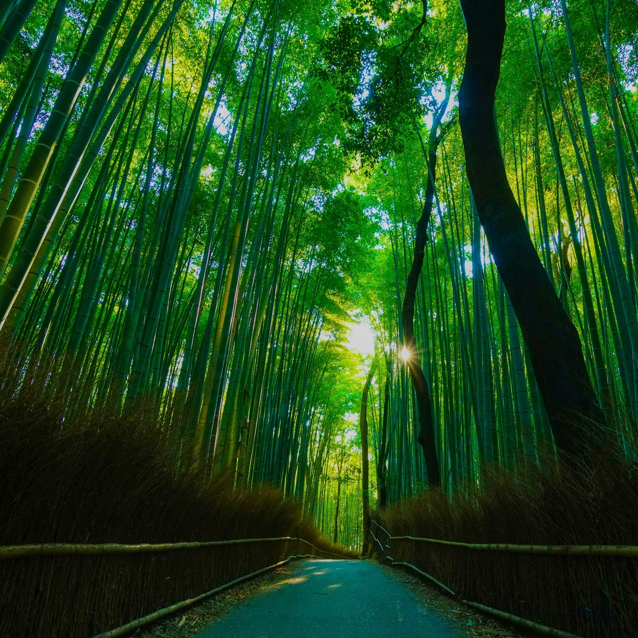 bamboo arashiyama kyoto