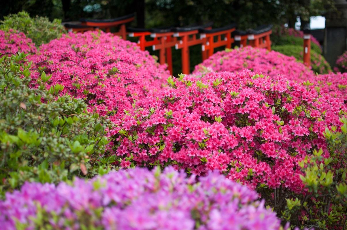 nezu shrine tokyo azalea.jpg