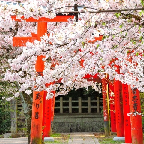 kyoto+cherry+blossoms+shrine.jpg