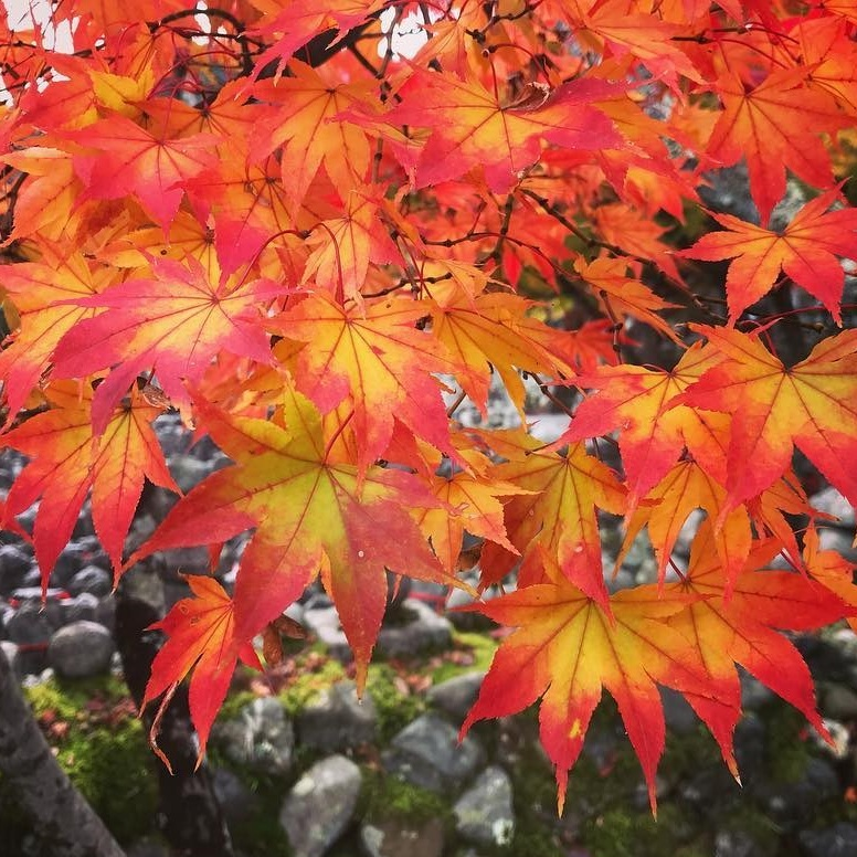 kyoto+autumn+leaves+closeup.jpg