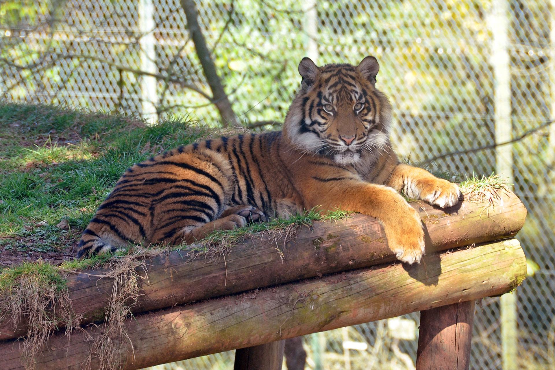 Tiger_in_Paignton_Zoo.jpg