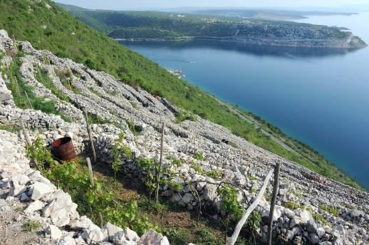 typical Dalmatian vineyard