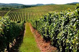 typical Slavonian vineyard