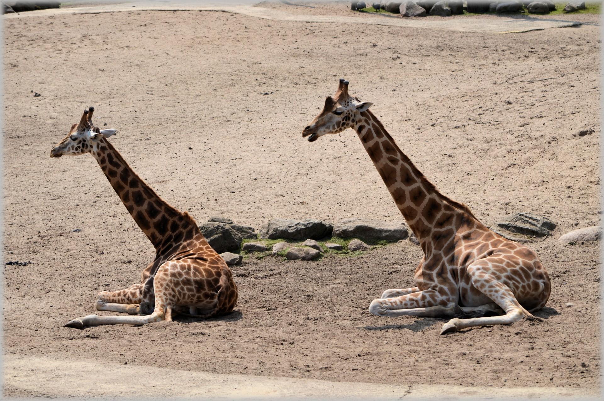 de-giraffe-06.jpg