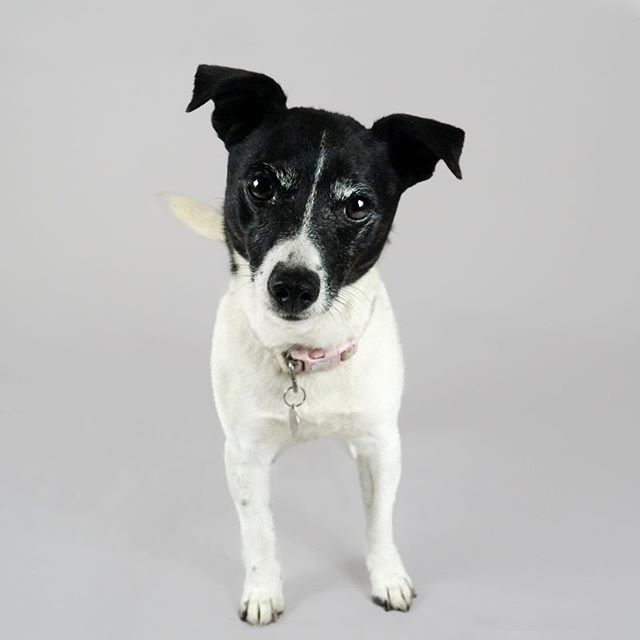 Introducing Pippy! This little lady was a tad unsure at first, but soon got settled in! Check out that grin on the 3rd photo... 🥰 Lots of treats and plenty of attention, what a tiring morning being a model!   #studiowoof #dogphotography #dogsofharrogate #harrogate #dog #jackrussellterrier #jackrussell #harrogatelife #dogportrait #dogportraits #yorkshire #dogphotoshoot #dogphotographer #terrier