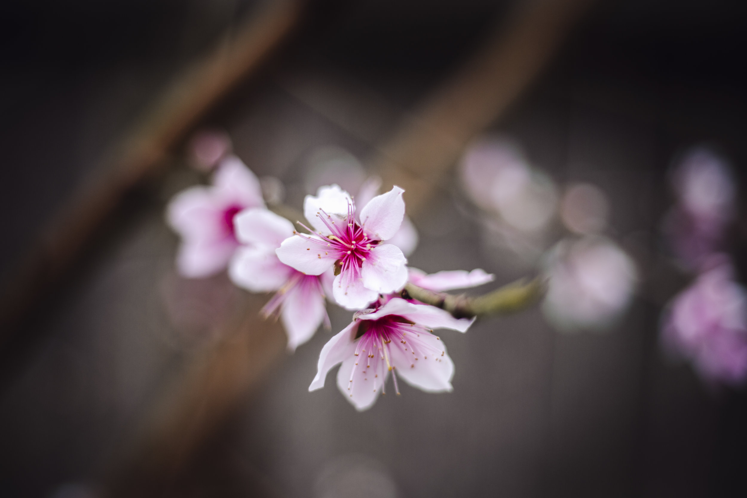 Peach Blossoms are Blooming! -