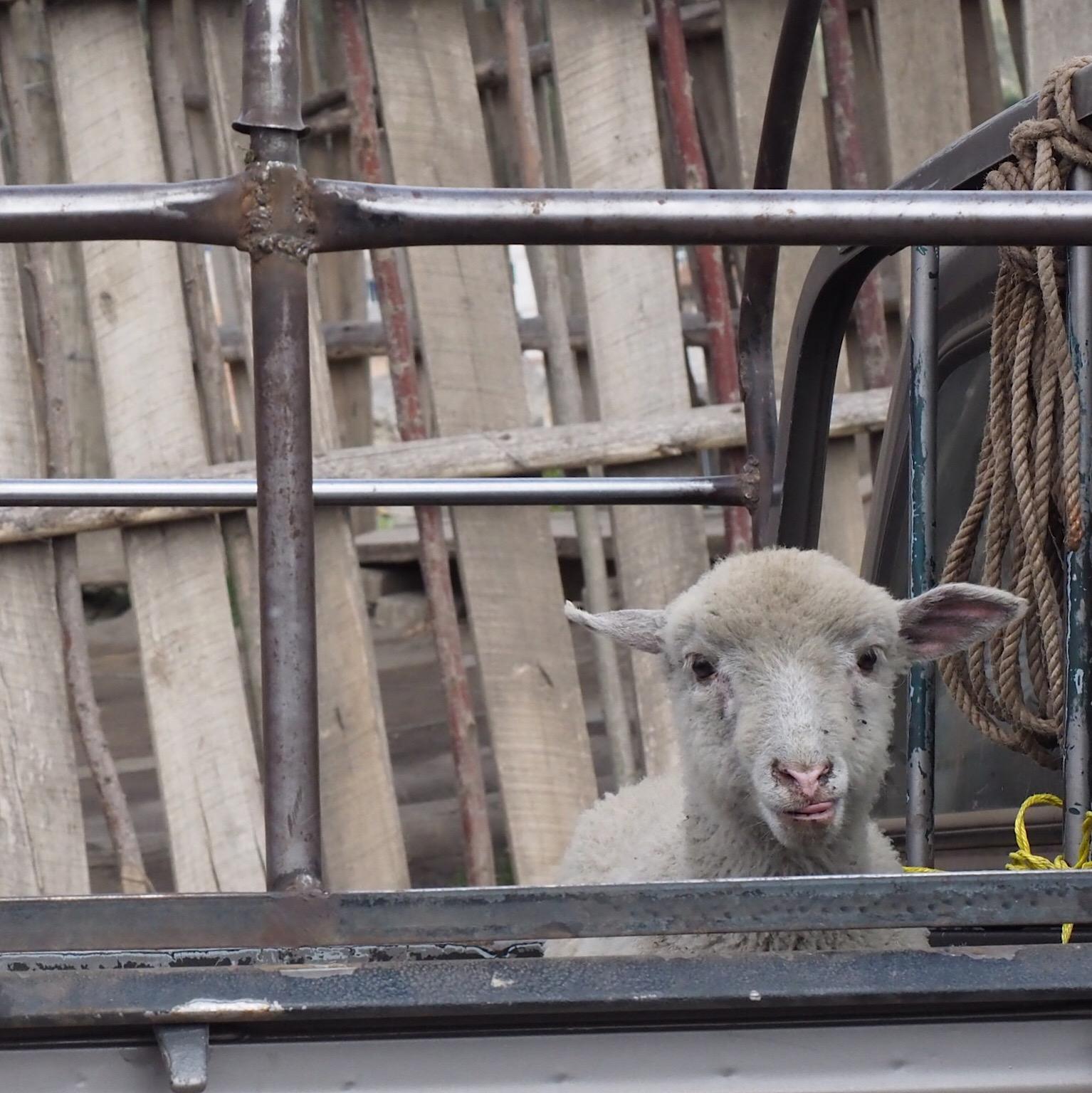 sheep guamote.JPG