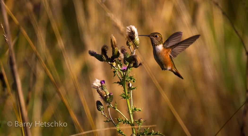 Rufous Hummingbird - Barry Hetschko
