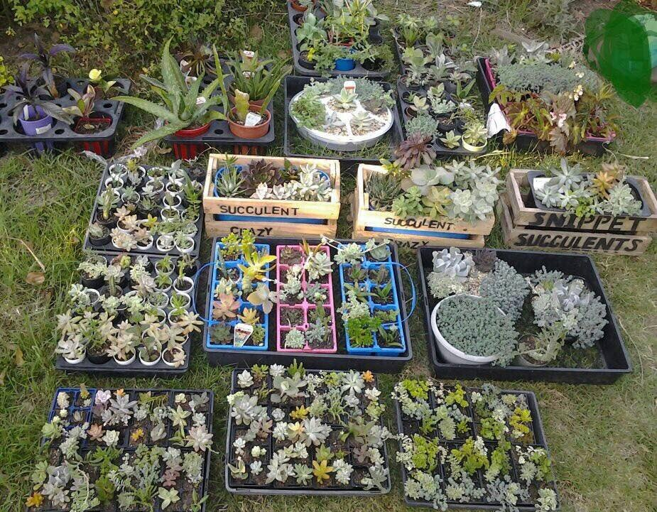 Marie's Snippet Succulents -