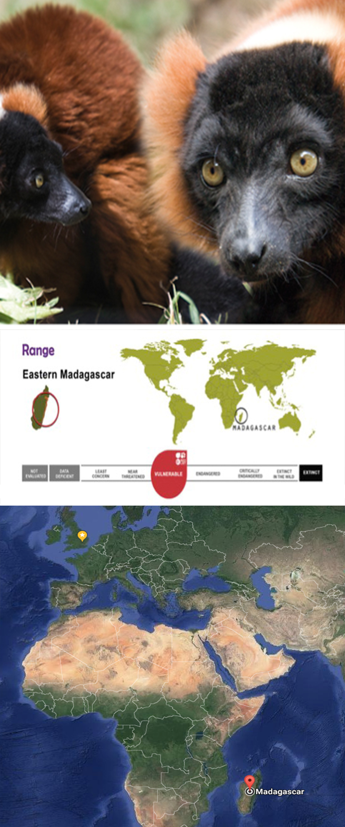 """RED-RUFFED LEMUR - Varecia rubraOne of the 25 most endangered primates in the world, red-ruffed lemurs are in serious danger of becoming extinct. Found in a very small area of Madagascar, this lemur needs the help of zoos to protect its future.Interesting fact: The ruffed lemur's thick coat keeps it warm and dry in the rainy season.Habitat & threats:Primary rain forest in the upper canopy, they prefer high forest and are often observed in the crowns of large fruiting trees. Natural predators are Fossa, Goshawk and two mongoose species. Their most significant threat is man who hunts them for bush meat and causes serious habitat loss. They are reliant on the largest trees in undisturbed forest which are the first choice of loggers. As a result, they are the first to be affected by deforestation with few areas of mature forest left.Diet:Fruit, young shoots and leaves. They are important seed dispersers. Ruffed lemurs pass seeds in their droppings within 2 hours of eating fruit.Breeding and social dynamics:They live in large family groups ruled by a dominant female. Twins are normally born and infants are """"parked"""" for the first week in a nest. Instead of clinging on like many lemurs, baby ruffed lemurs are carried in their mother's mouth. Both males and females care for the young.Conservation:It is protected officially only within the Masoala National Park and the Makira Protected Area. However, Masoala was the national park most heavily impacted by the very rapid upsurge of illegal logging after the political events of early 2009. This species is part of a managed European breeding programme."""