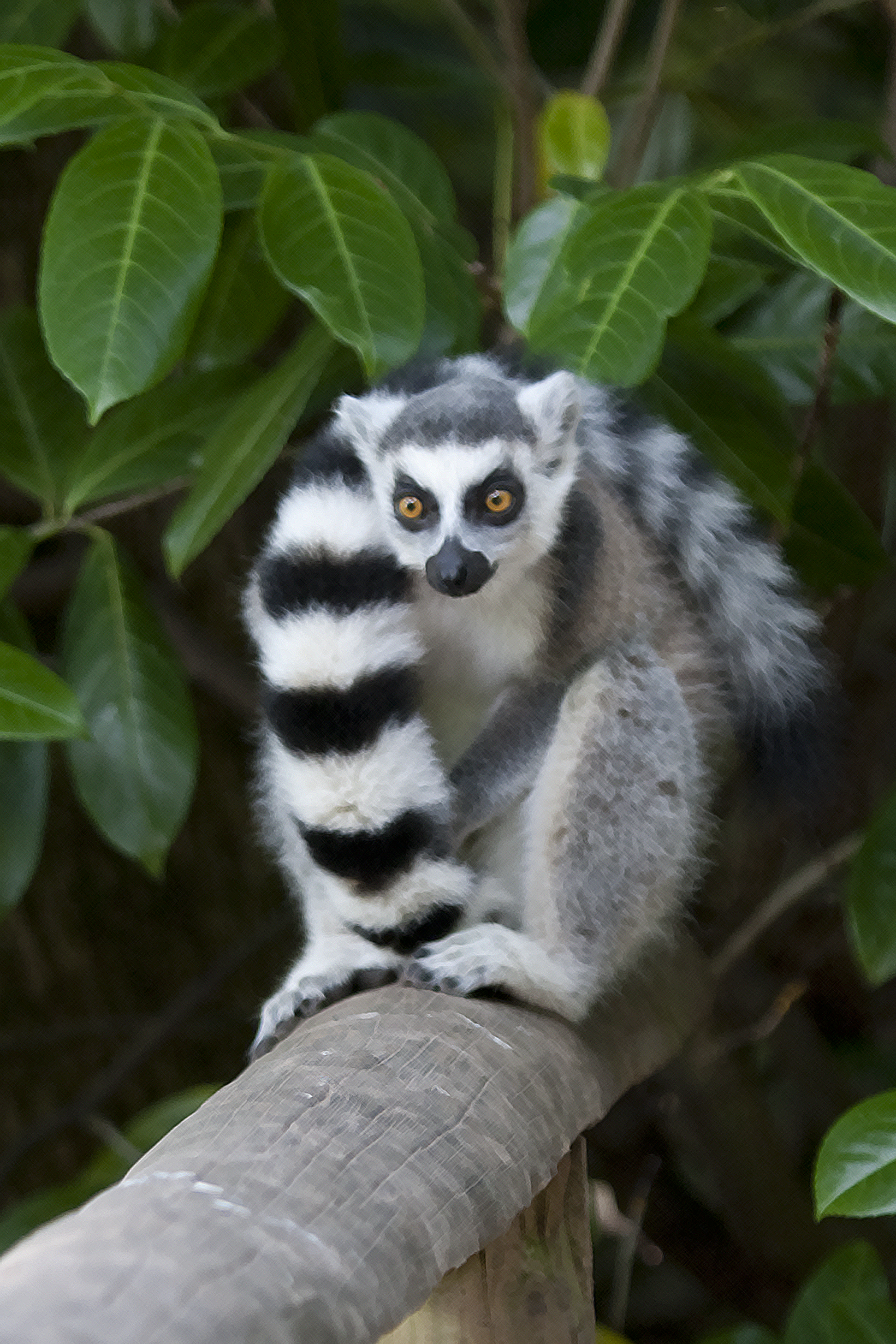 ring-tailed lemur-433.jpg