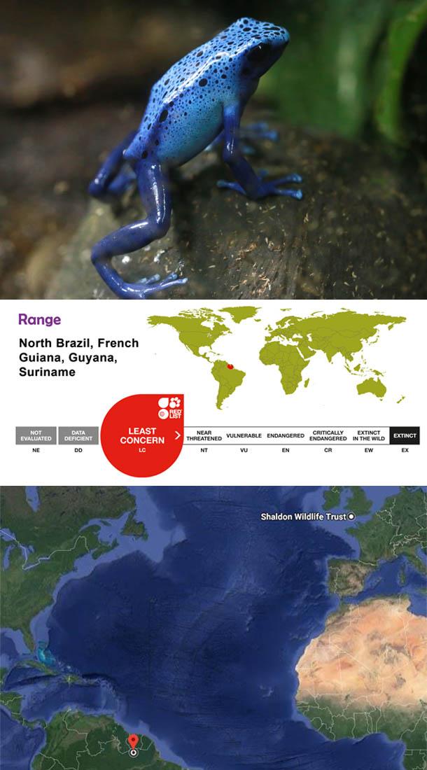 Blue dart frog - Dendrobates tinctorius