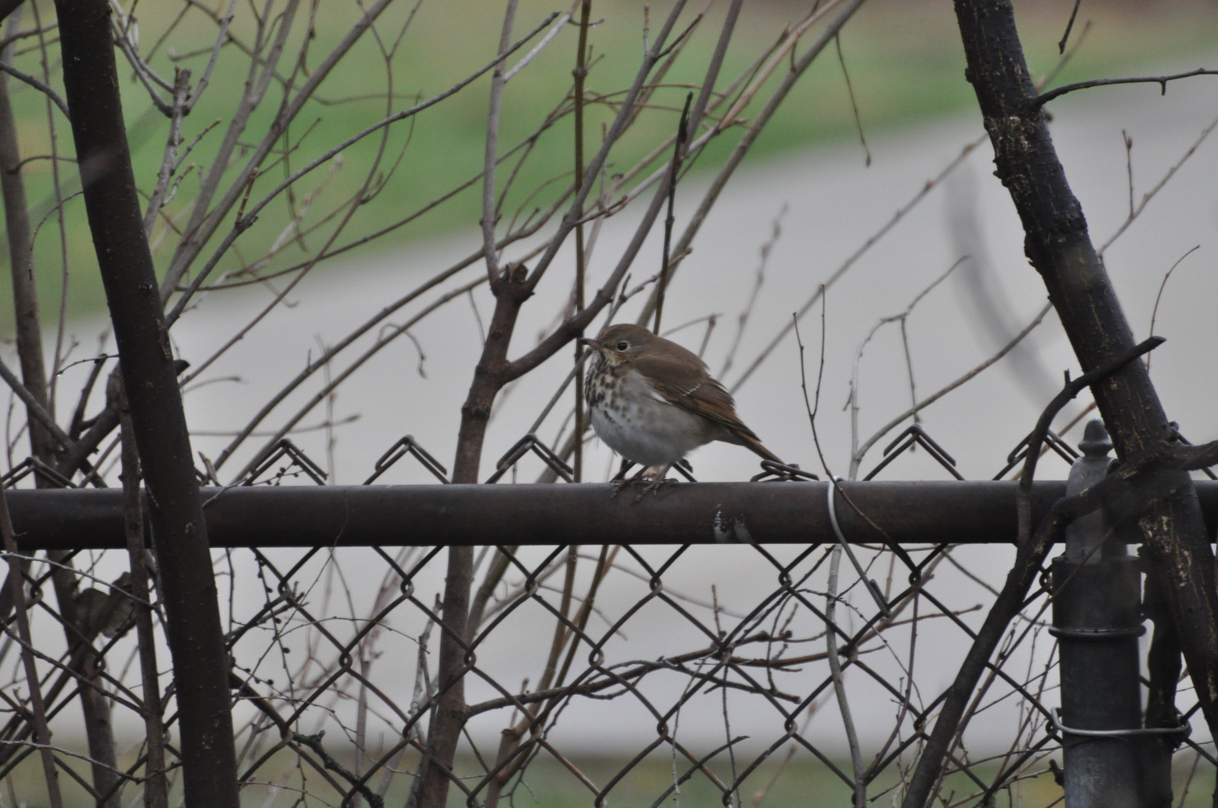 Saw this little buddy passing through Michigan in April of 2019. A Hermit Thrush that stayed around in the area for a couple of hours and also hung out with some local robins!