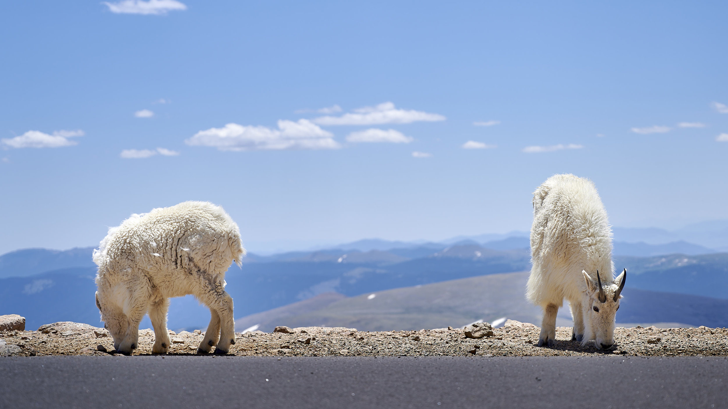 This pair of mountain goat kept us company for the entire time we were at the summit