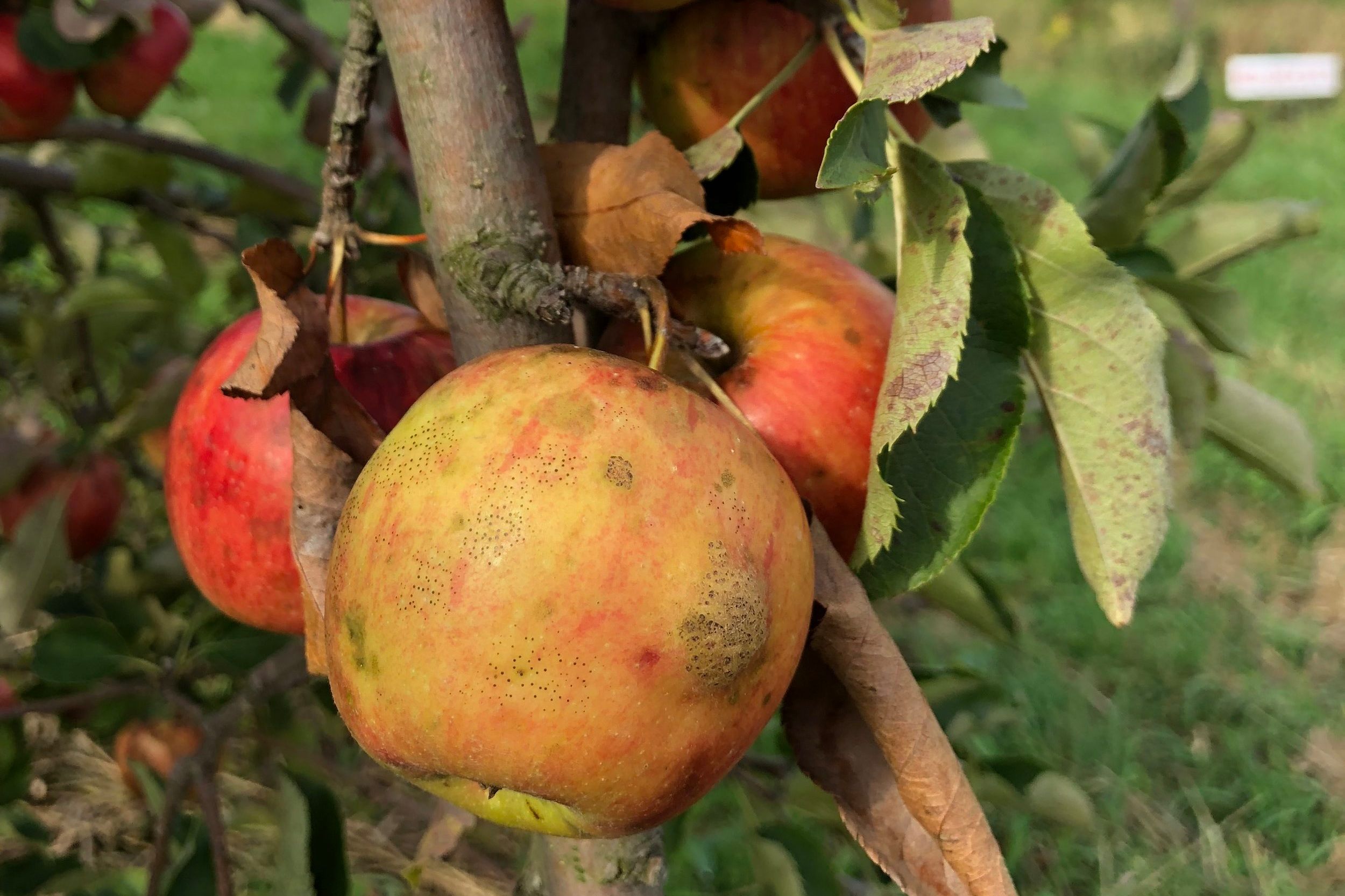 Fly Speck  is a fungal disease that covers the apple peel with clusters of dark freckles. The freckled peel has no impact on the taste or texture of the apple. It can be eaten as normal, directly from the tree!