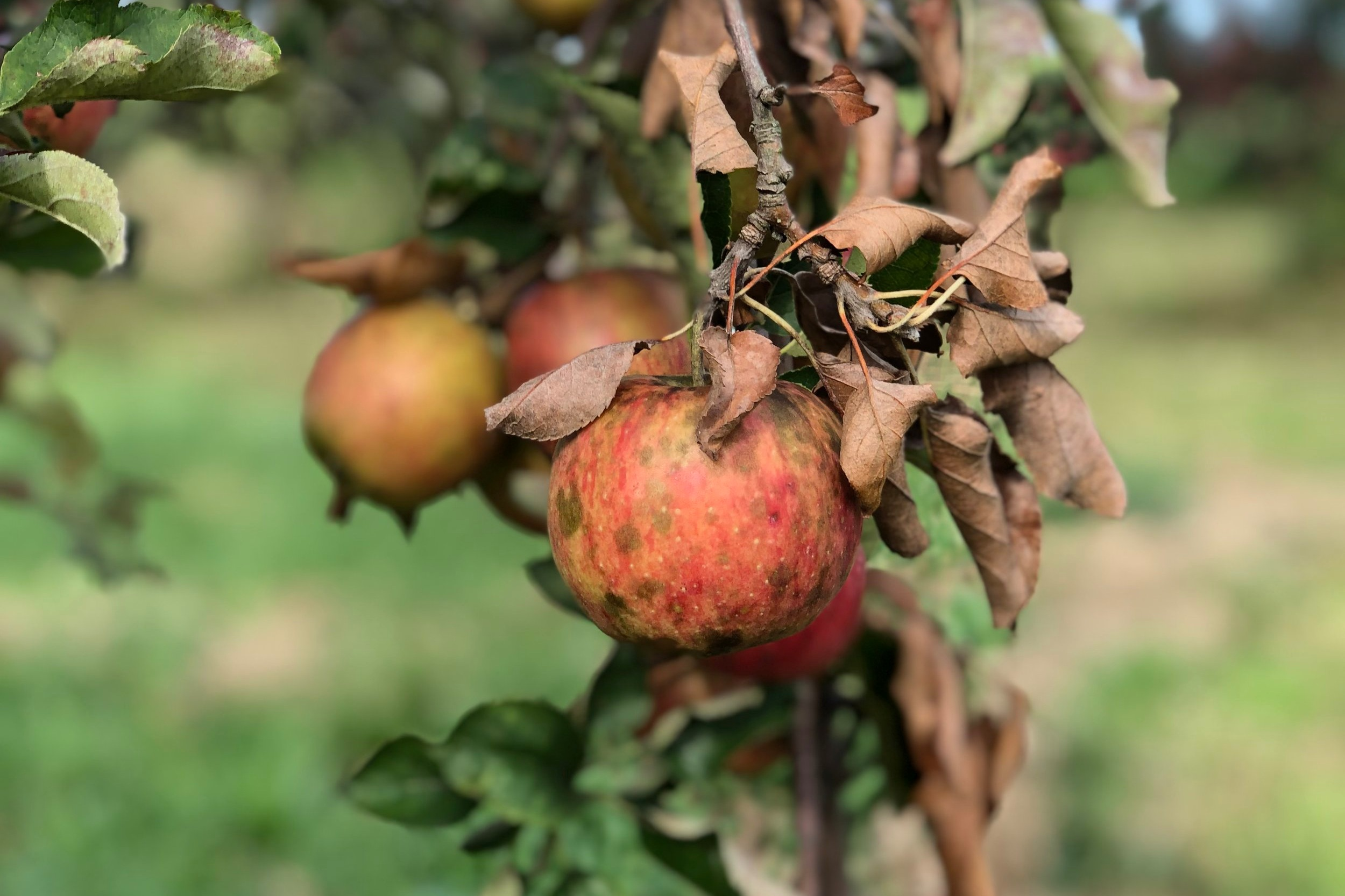 Sooty Blotch  is a fungal disease that looks like a pale green to black birthmark. These apples are as crisp an delicious as any fresh apple and may be eaten straight from the tree.
