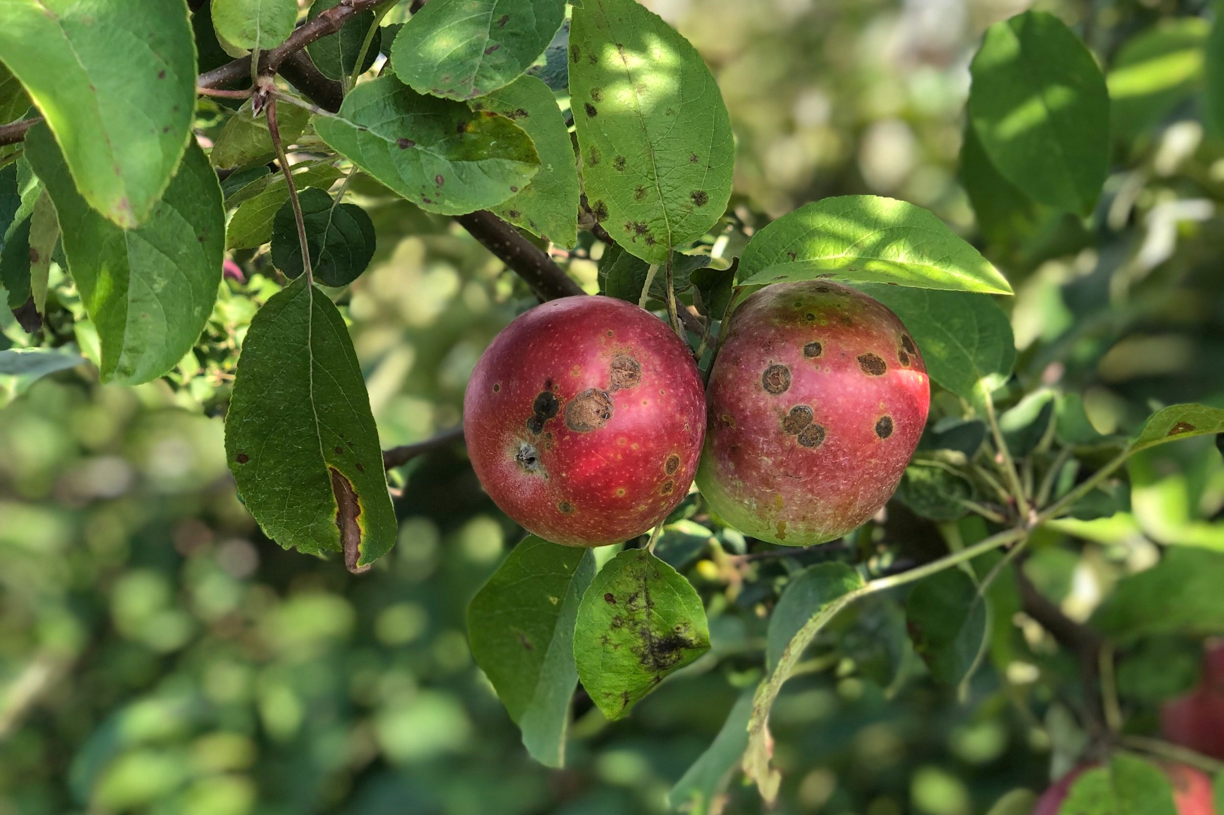Apple Scab  is another fungal disease that is noticeable first in the leaves and later on the apples. Minor scab has no effect on the interior of the apple and can be eaten as normal. If you'd prefer, you can also peel or cut the scab away.