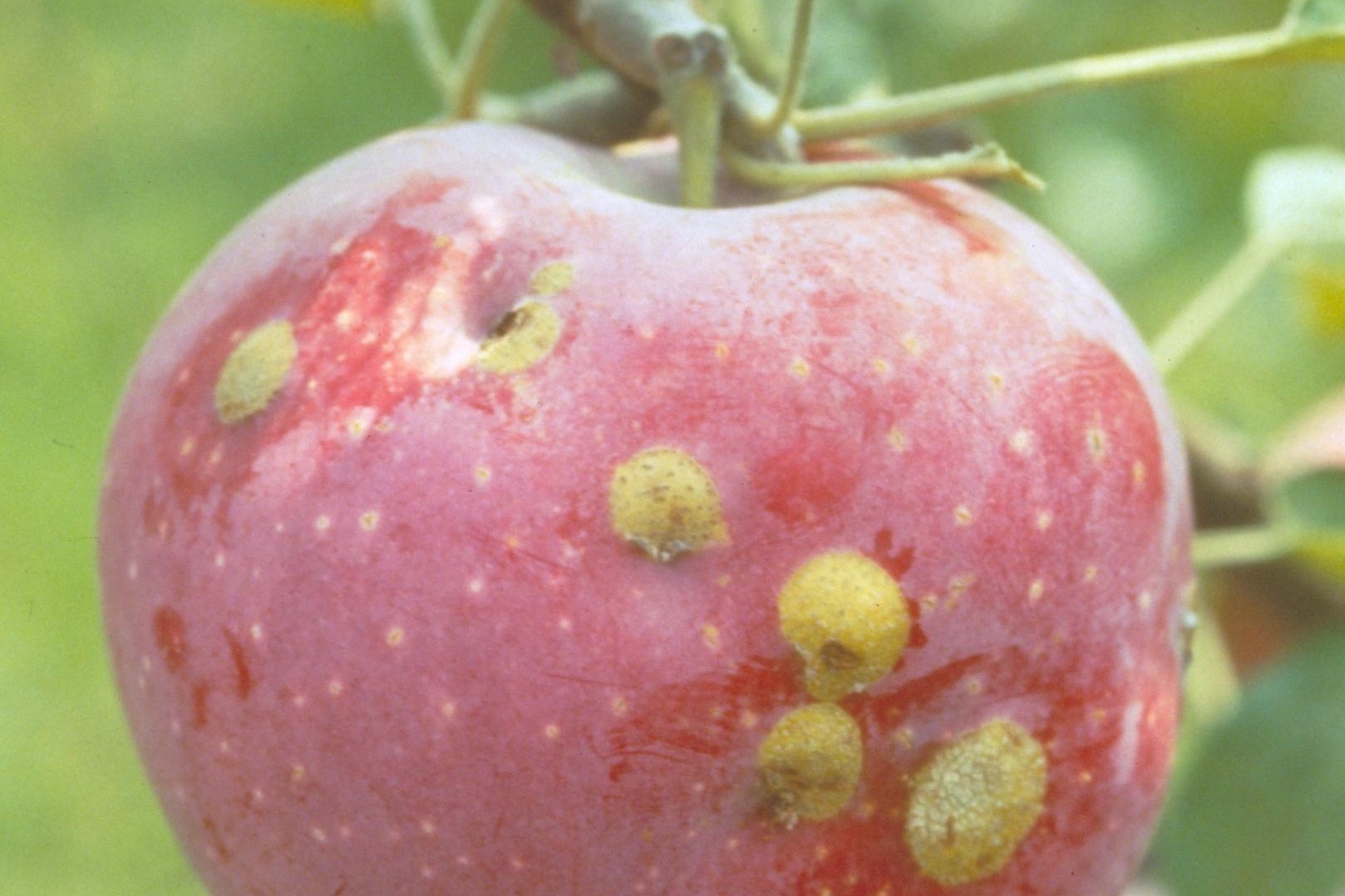 Plum Curculio  is a small beetle that feeds on unripe apples early in the season. The blemish seen is a scar leftover from this early damage. These scarred apples may be eaten right off the tree, or you may cut away the scar.  Photo: Ricardo Bessin, University of Kentucky