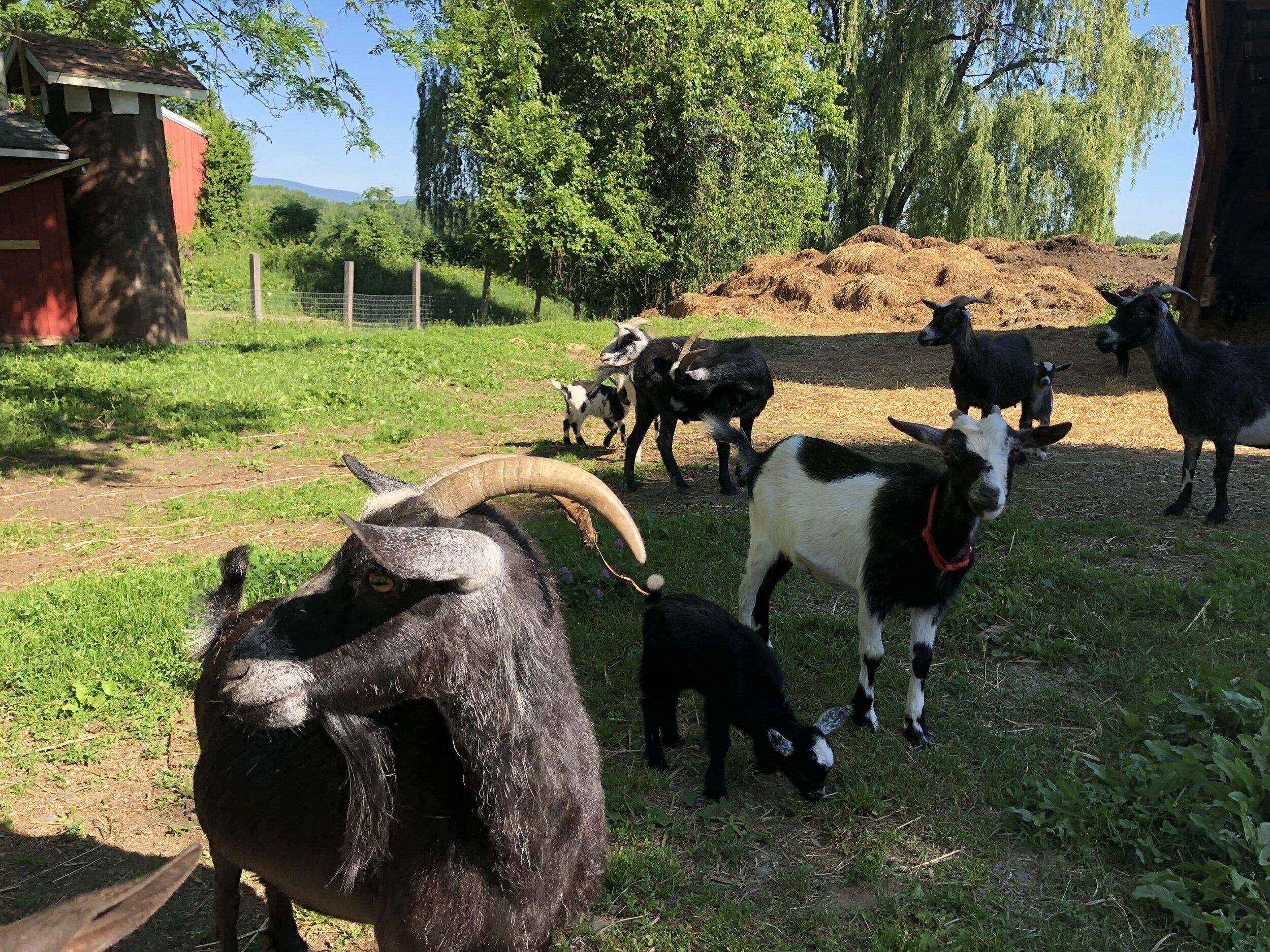 喂养和宠爱侏儒山羊