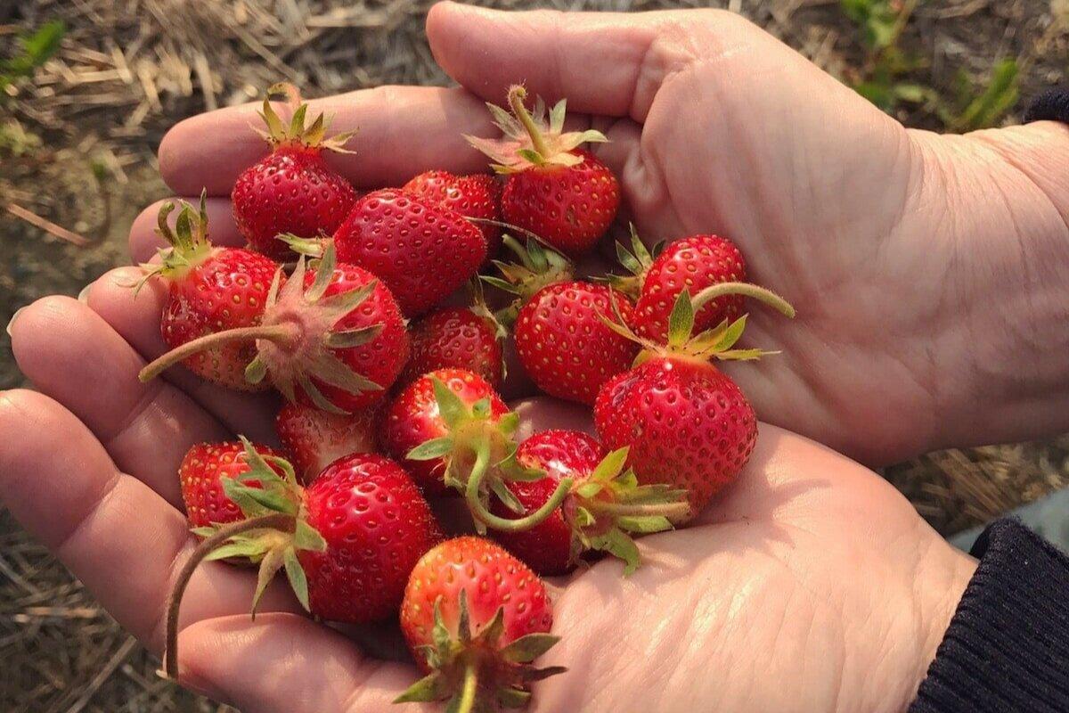 草莓 - 草莓采摘季节是在6月。