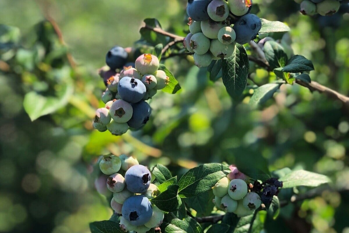 蓝莓 - 蓝莓采摘可从7月的第一个至8月中旬提供。