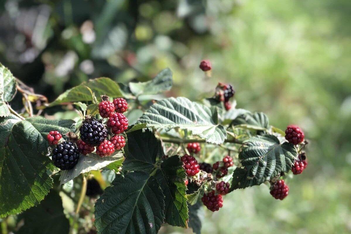 Blackberries  - 黑莓拣选可从8月初到9月中旬开始。