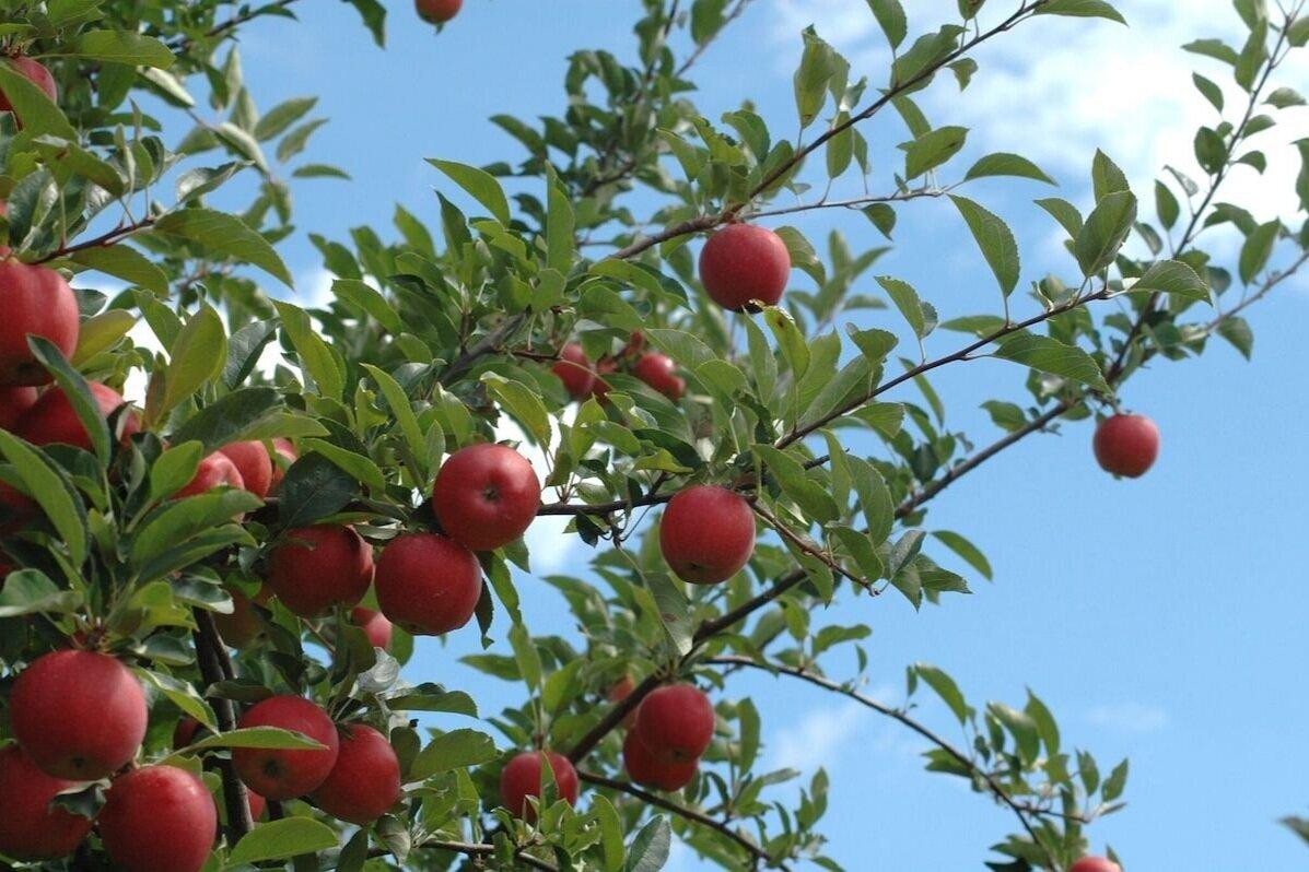 苹果 -  Apple采摘可从8月底到10月底的可用。