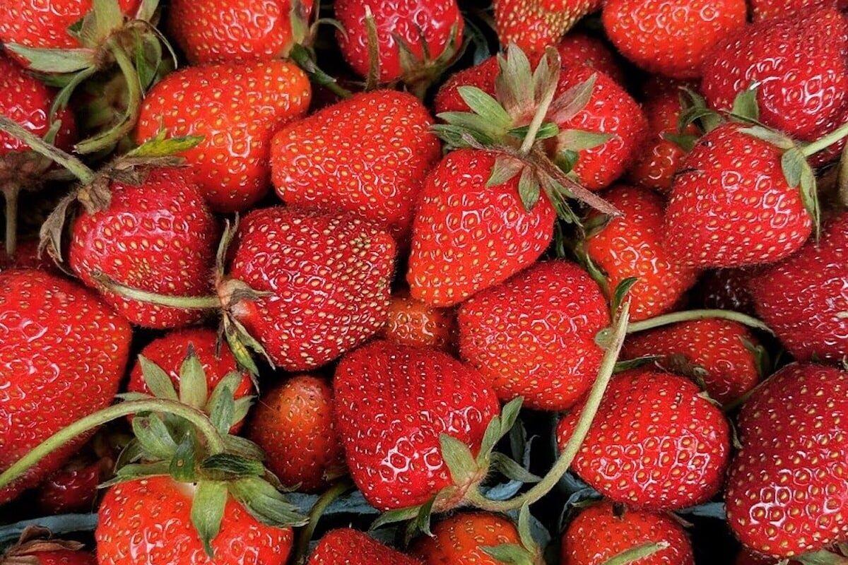 在我们位于纽约红钩的家庭农场,你可以自己采摘草莓。188金宝慱bet