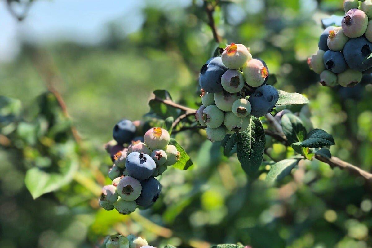 在红钩,纽约州的家庭经营的农场上挑选自己的蓝莓雷竞技投注下载