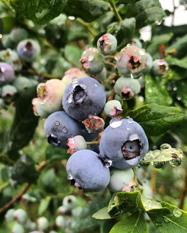 伍迪多年生 - 我们的苹果树和蓝莓灌木丛都在三十岁。随着这些木质多年生植物的生长,它们从大气中捕获二氧化碳并将其存放在其分支机构中。几十年来,根源下方的土壤能够建立丰富的微生物生态系统。旋转旋转和覆盖作物每年种植,每隔几年就换了草莓。为了管理领域的营养,促进生物多样性,我们在许多不同领域旋转这些作物,并在收获年间植物覆盖作物。
