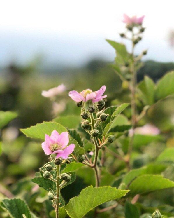 最小的投入 - 我们的农场还没有经过认证雷竞技投注下载的有机农场。我们仍然使用一些无机投入,但我们致力于成为透明对我们使用这些材料,并尽量减少其use.2020应用材料 - 蓝莓:我们使用硫磺降低土壤的pH值和硫酸铵,这是一种无机肥料增加了氮土壤。无农药被应用到我们的任何berries.-苹果:三月一种除草剂应用程序试图控制毒藤果园。四月下旬至6月初杀菌剂六级的应用,以防止苹果黑星病,雪松苹果锈病和白粉病。