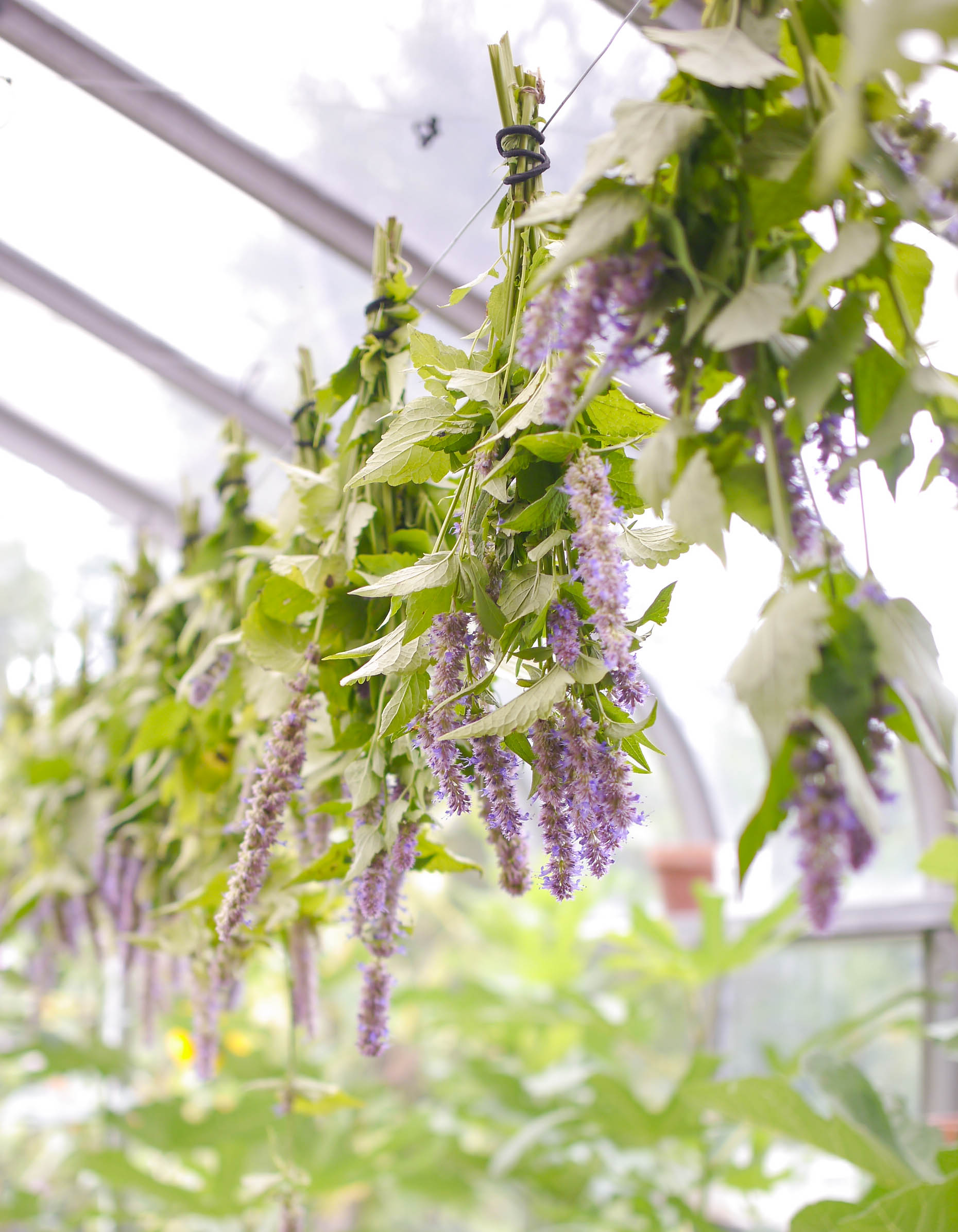 Anisse Hyssop Drying