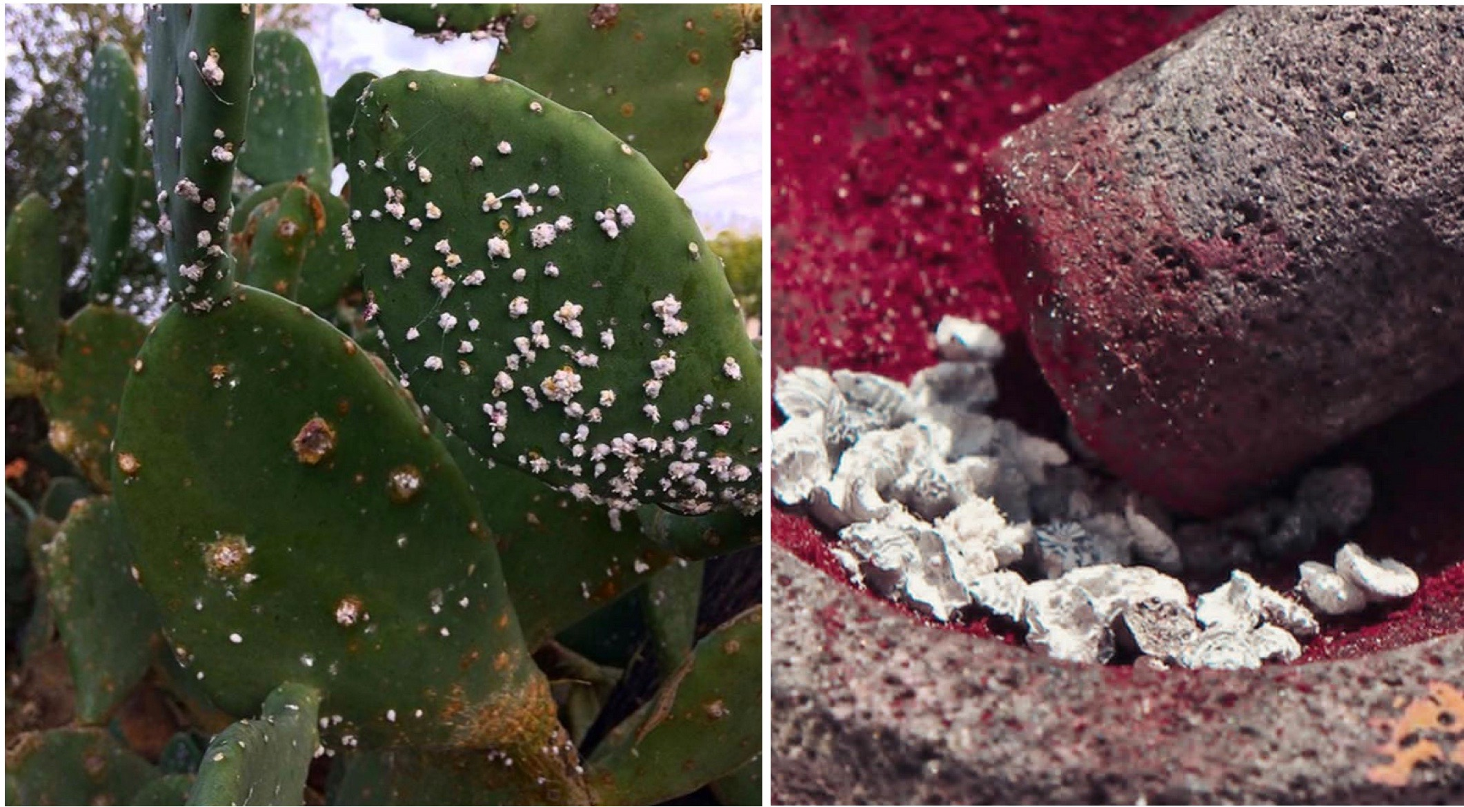 Left image wild Cochineal growing on Cactus in the desert in Cd Juarez, MX  and El Paso, USA. Right image, Cochineal crushed to fine pigment before used in the dye.