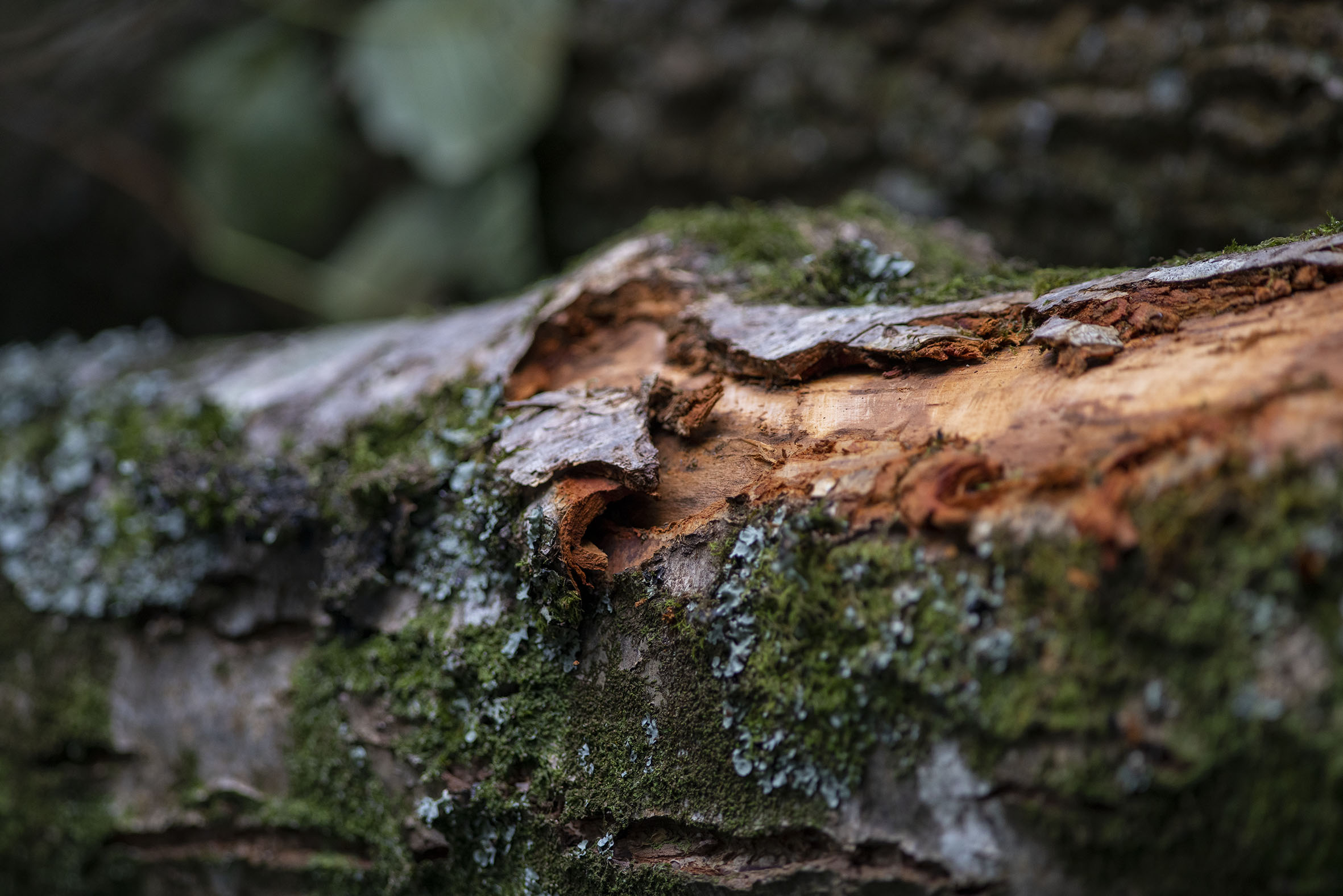 Grey squirrel bark stripping in Tehidy Country Park, Cornwall.