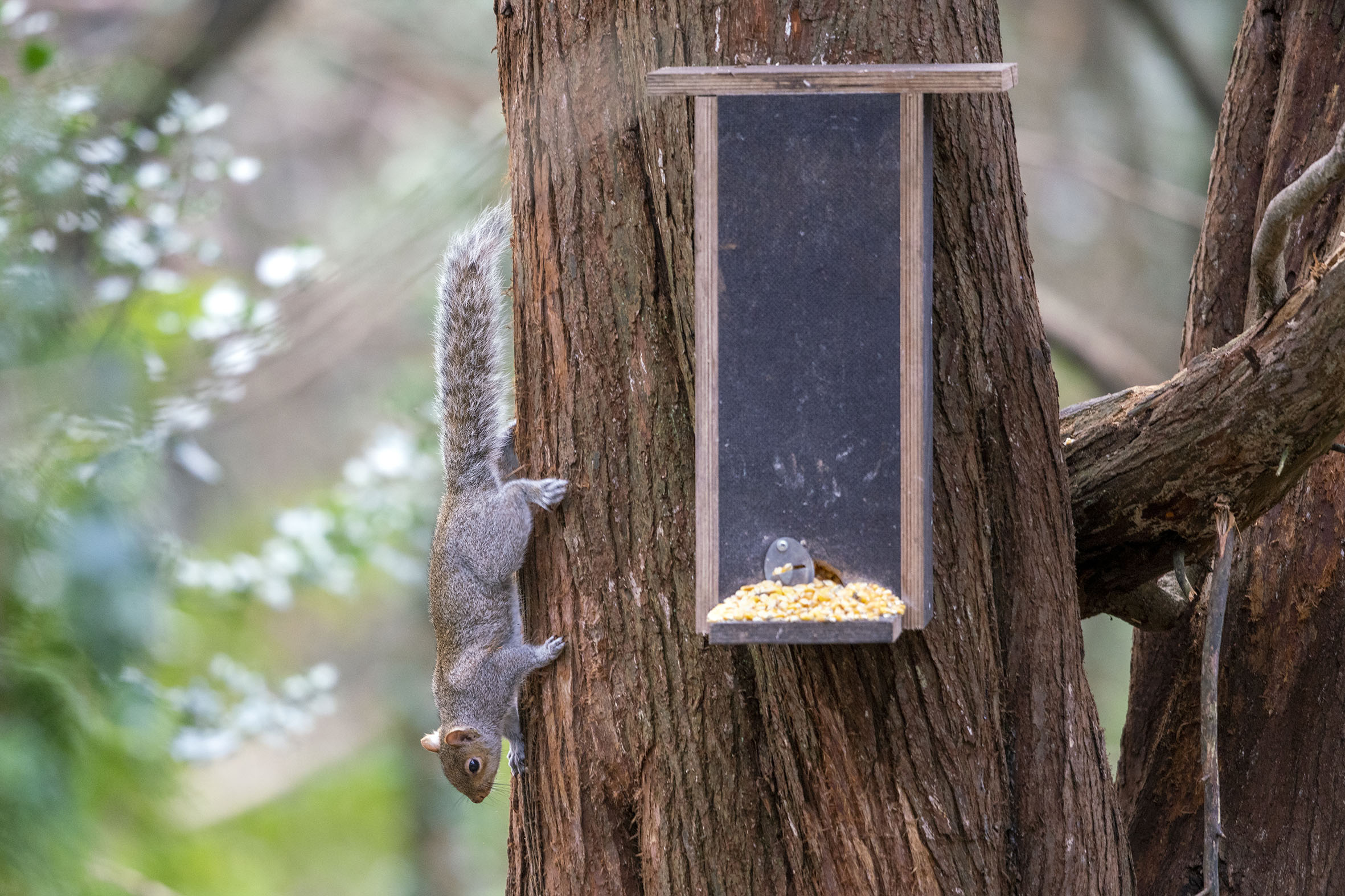 Grey squirrel examining ranger's feeding station.