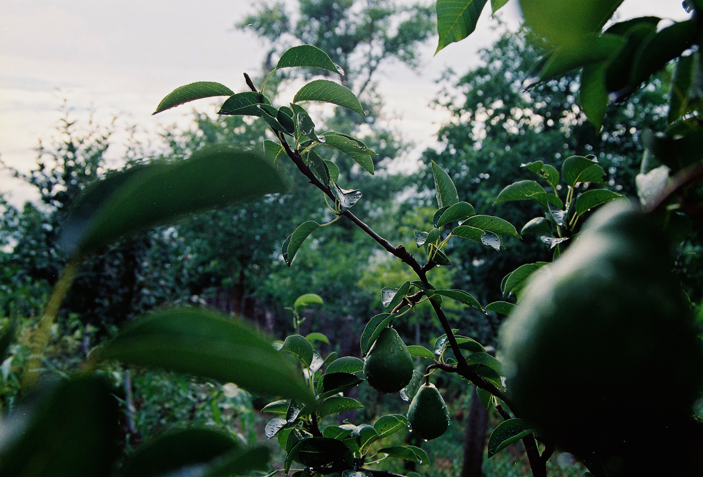 Pears After Rain by Dann Ghe Orghita:  This pear tree was photographed in my grandma's garden. Every year, without failing, it gives incredibly beautiful and tasty pears. It made me think that if I respect and give a chance to nature, nature will never fail to respond and nurture me back. It's the same in all Life's situations