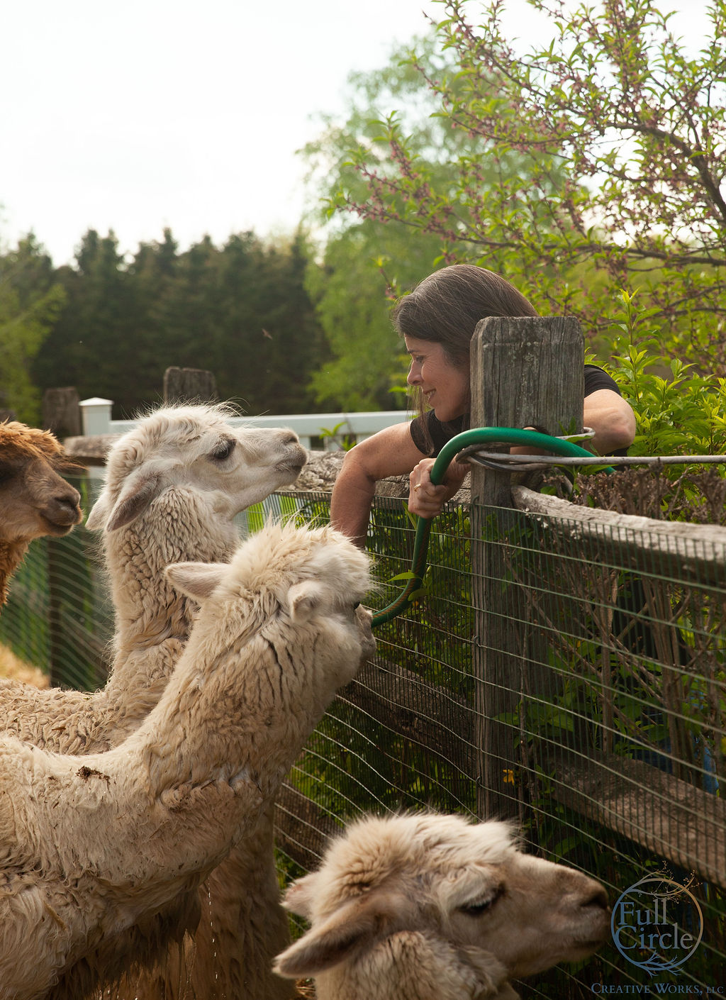 The alpaca girls prior to shearing
