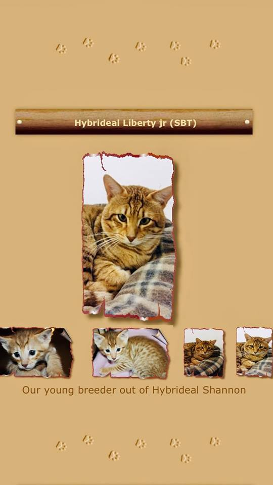 Liberty Jr - This beautiful warm golden coat King passes his genes on to his kittens. Even if the picture mentions him as a young stud… let's say he has proved himself since !!! He treats his Queen right!the way they deserve it…A true King!