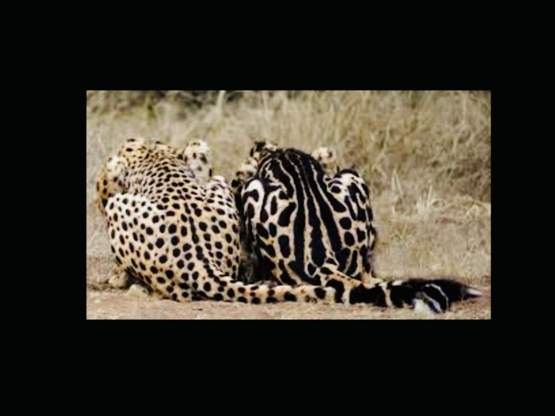 - The SparbleThe sparble pattern (mix of spotted and marble), a new trend, is part of the non-standard colours but is highly desired and sought after: it mimics the royal cheetah markings. We are currently working on developing a sparble lineage. Two of our Qeens are sparble.