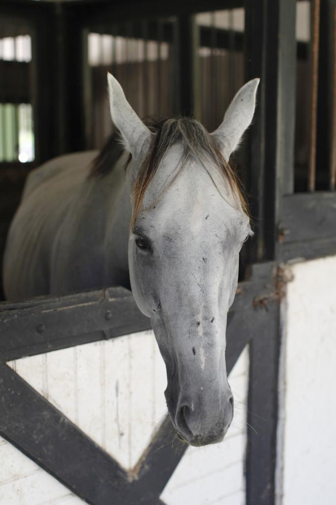 Jamaica-farm-horse-683x1024.jpg