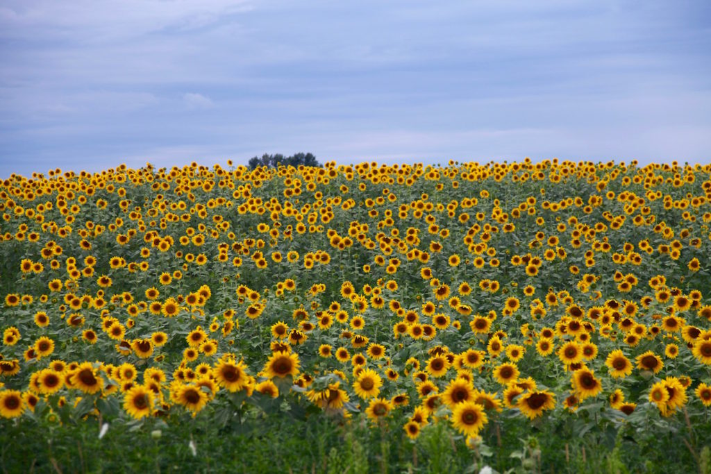Sunflower-fields-C-Chitnis-1024x683.jpg