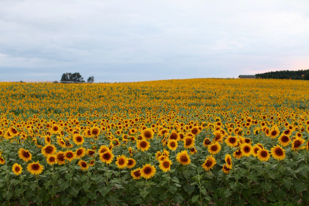 Sunflower-fields-C-Chitnis1-1024x683.jpg