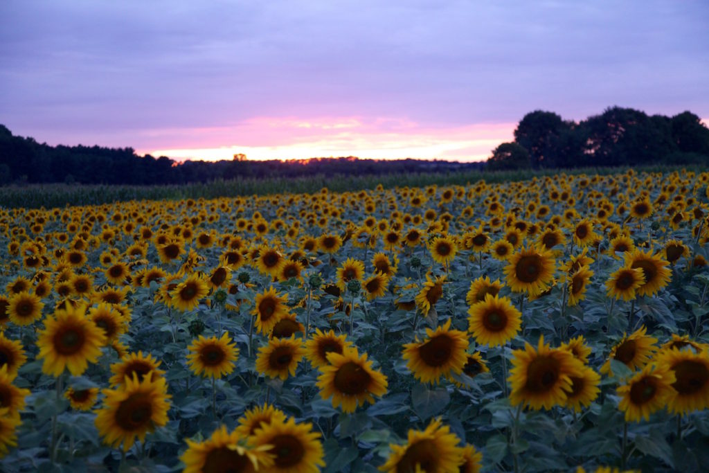 Sunflower-fields-C-Chitnis2-1024x683.jpg