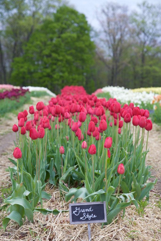 c.chitnis-wicked-tulip_7906-683x1024.jpg