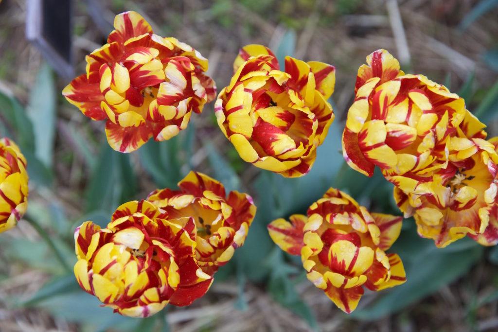 c.chitnis-wicked-tulip_7917-1024x683.jpg