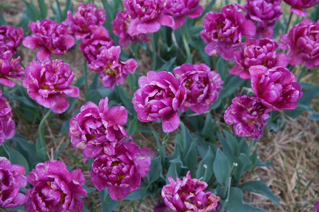 c.chitnis-wicked-tulip_7936-1024x683.jpg