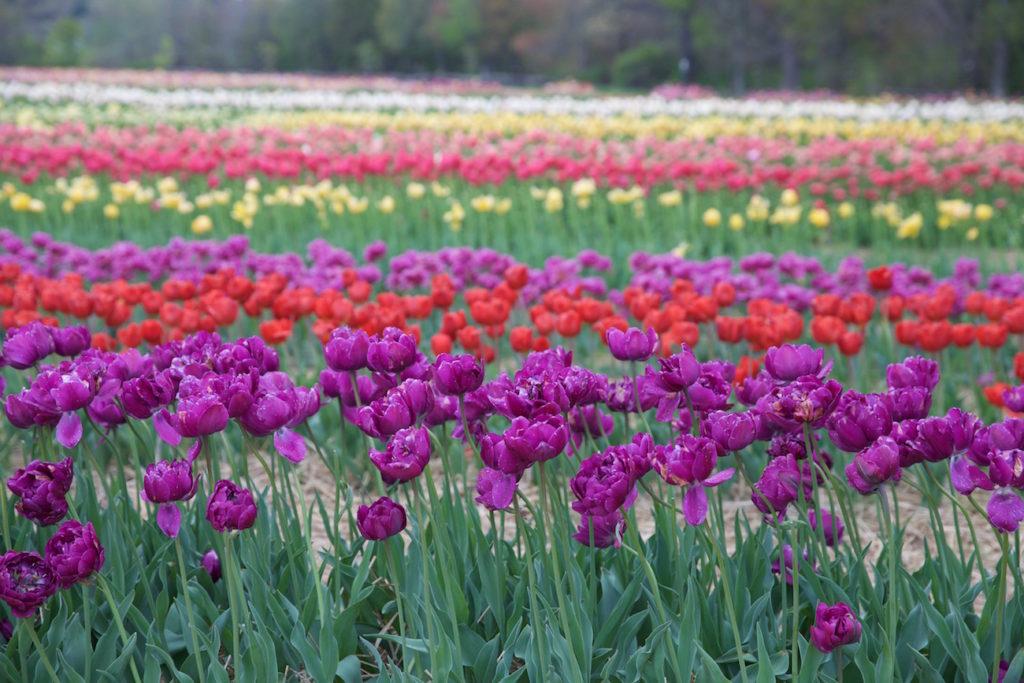 c.chitnis-wicked-tulip_7944-1024x683.jpg