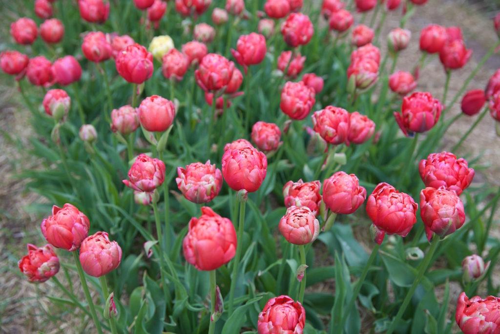 c.chitnis-wicked-tulip_7959-1024x683.jpg